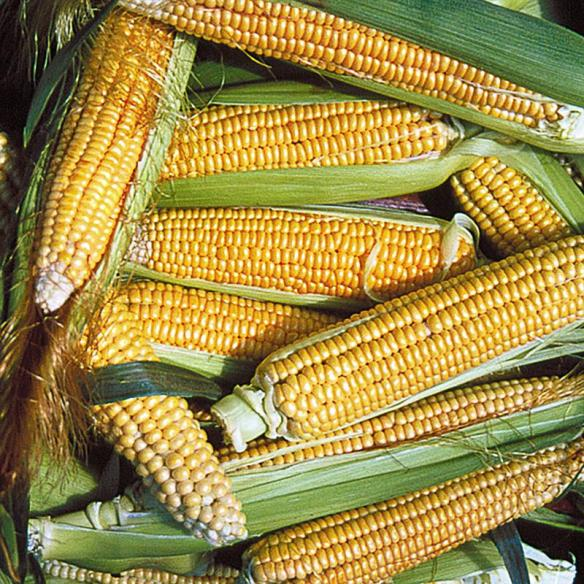 Golden Bantam Sweet Corn Seeds
