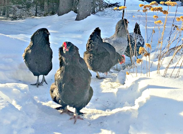 lisa-steele-chickens-in-snow