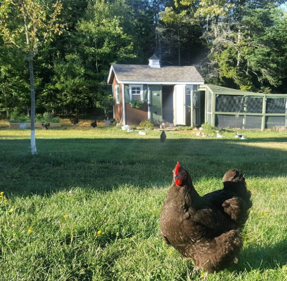 Chickens hanging out in the yard.