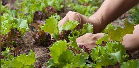 My Favorite Gardening Tips: Harvesting Lettuce
