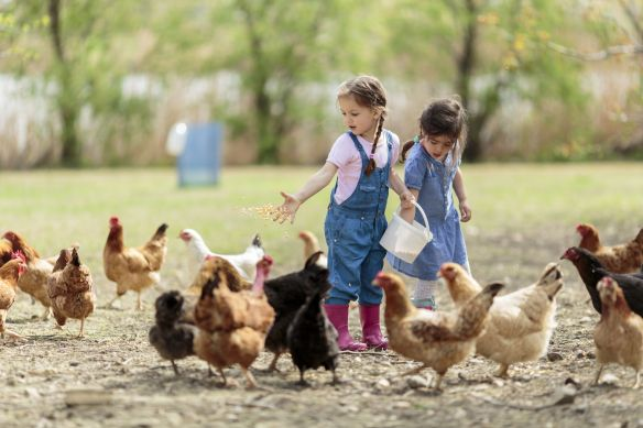 girls feeding chickens