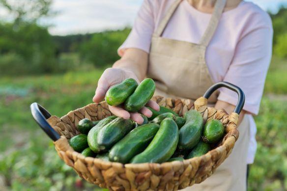 basket of cucumbers