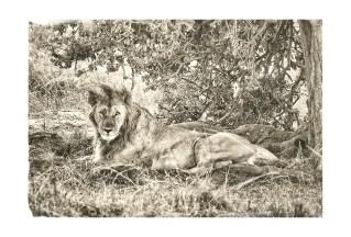 lion-king-kenya
