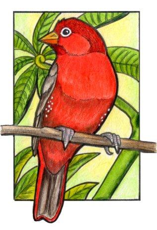 firefinch