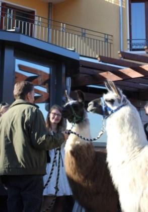 Lamas sur la terrasse de l'hôtel Les Trésoms