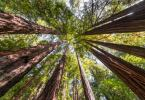photo of Sequoias are 30% Larger Photo Credit: Moritz Wolf Alamy