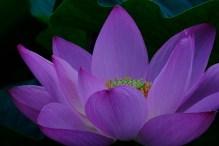 Lotus3