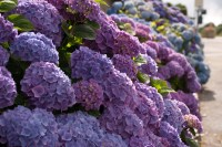 Garden Flowers: Hydrangeas in all their different forms ...