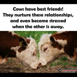 cowshavebestfriends