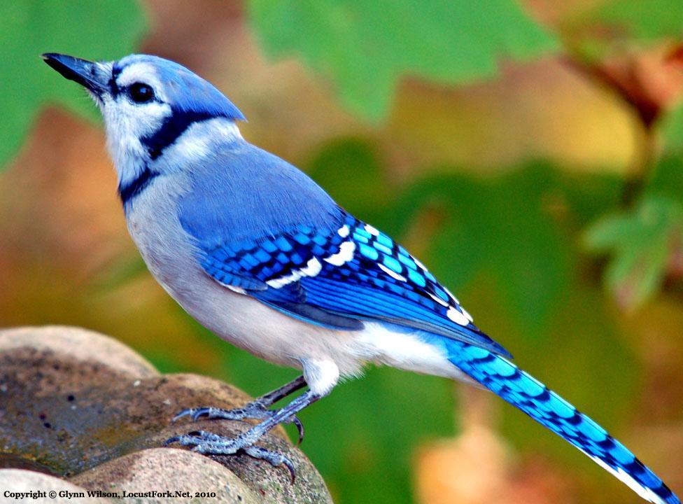 a blue jay visits
