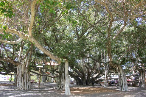 banyan tree park