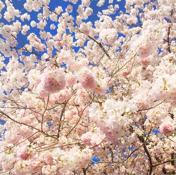 CherryBlossoms copy