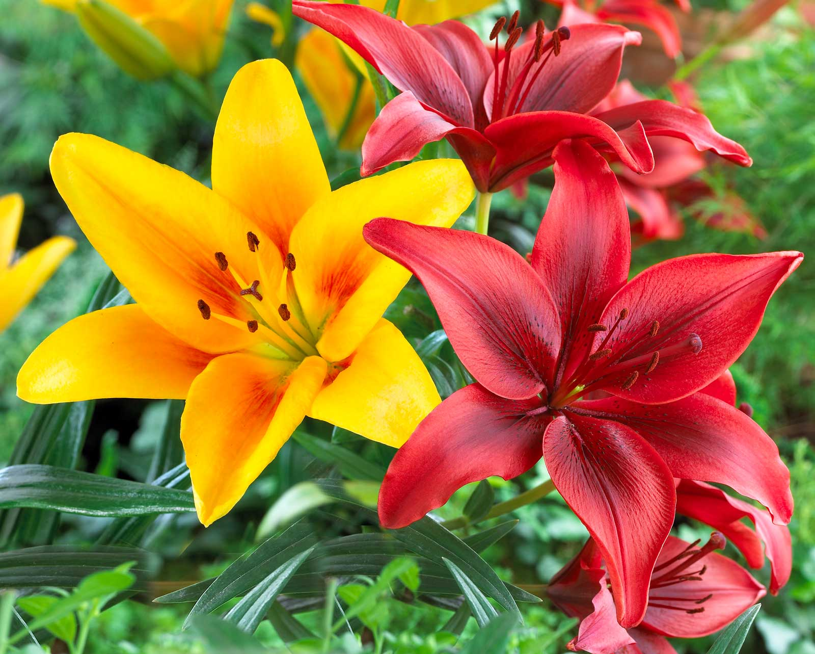 Know Your Lilies Asiatics, Orientals, Trumpets And More
