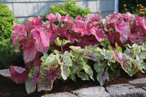 landscaping easy with caladiums