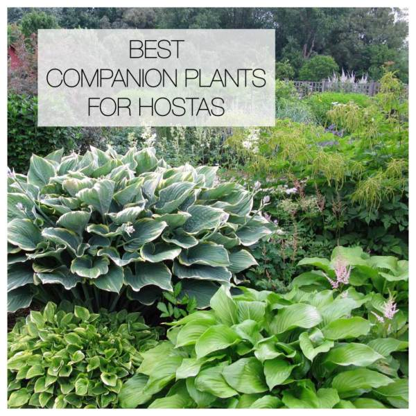 companion plants hostas