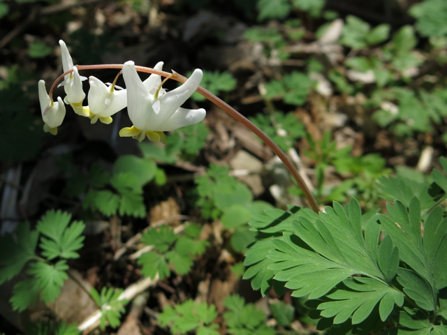 dutchmansBreeches