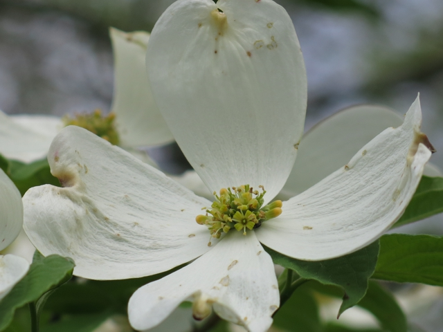 floweringDogwood