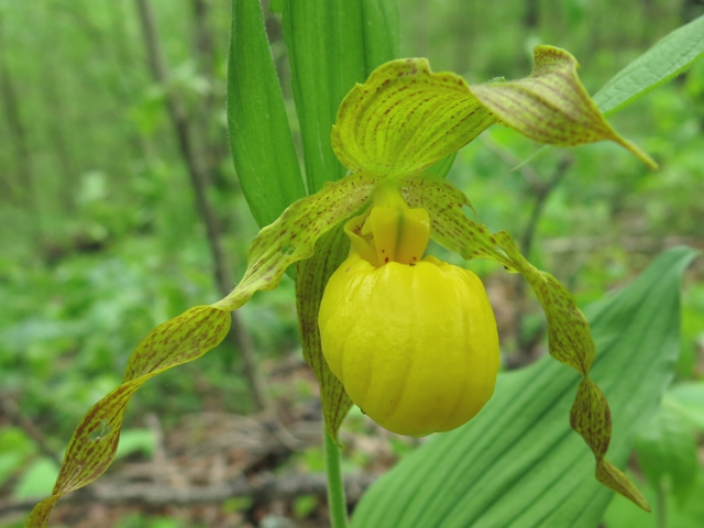 yellowLadySlipper
