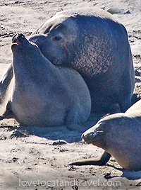 Elephant Seals mating at Ano Neuvo, California
