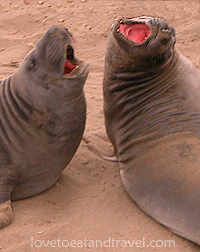 Elephant Seals barking at San Simeon, California
