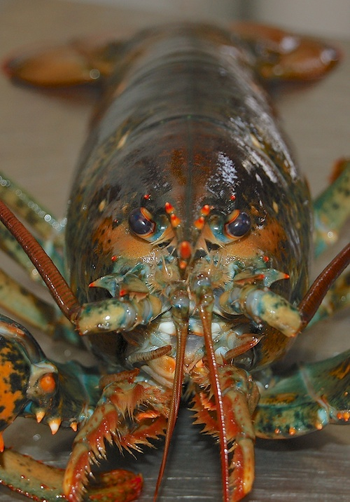 Lobster Face Looking at you