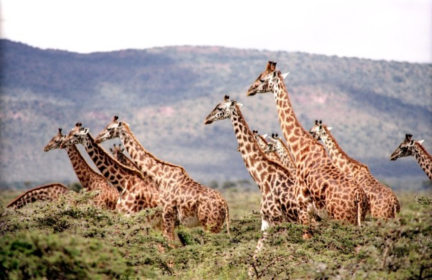 Giraffes on African Safari, Africa