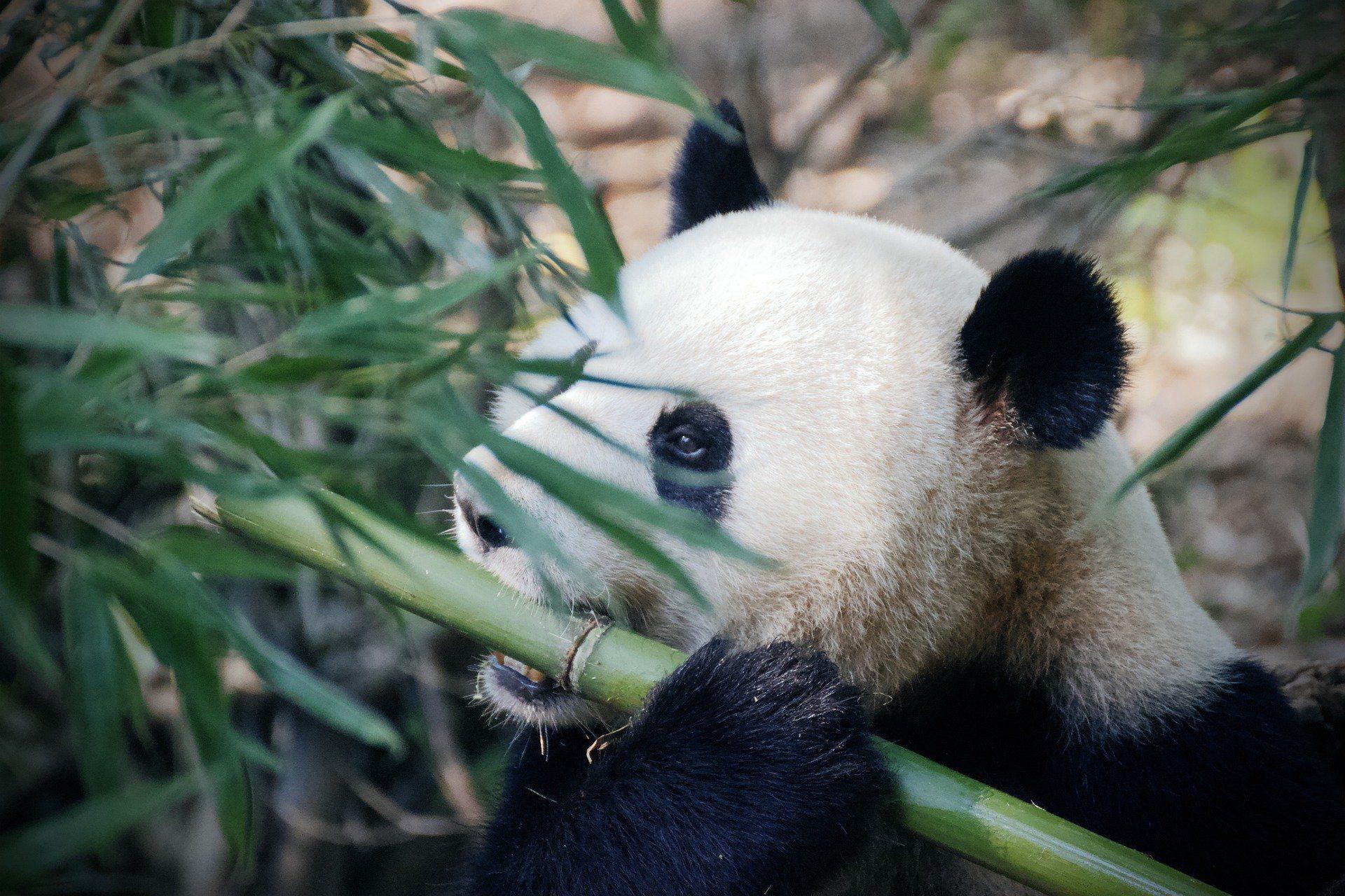 Panda bear in Beijing, China