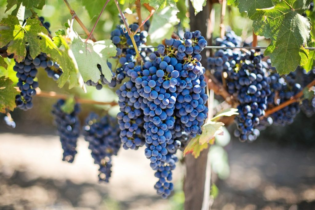 Grapes on the vine, Napa Valley, CA