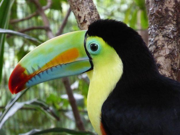 Toucan in Costa Rica