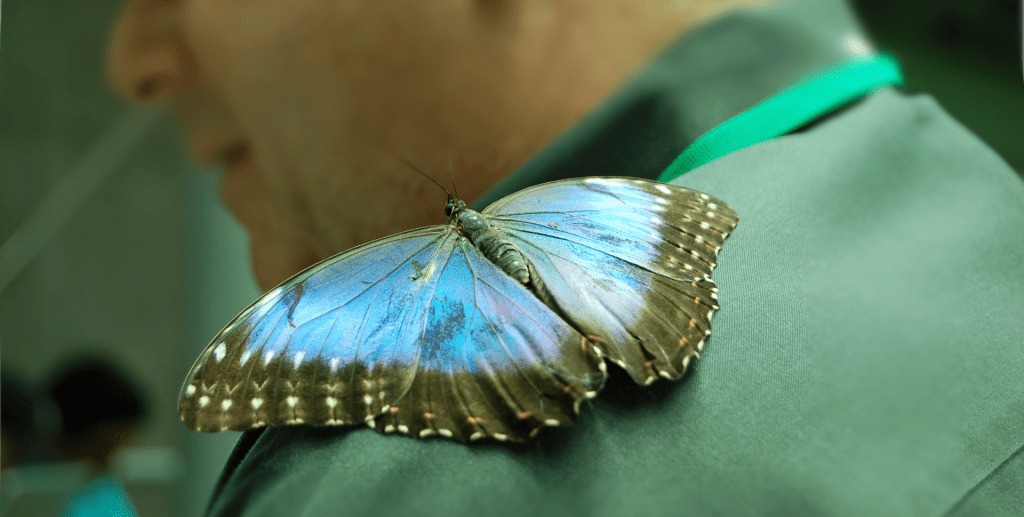 Blue Morpho Butterfly at California Academy of Sciences, Golden Gate Park, San Francisco, SF