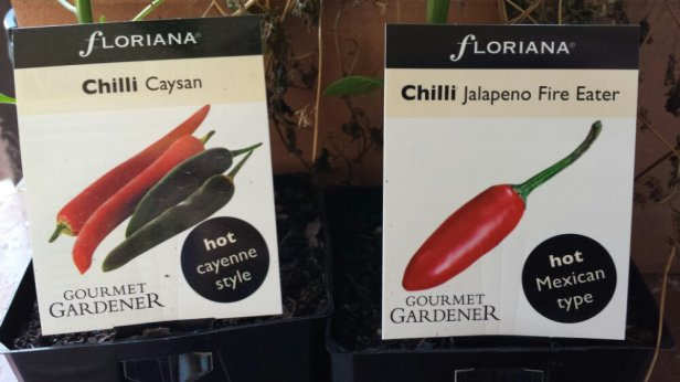 The new wave of the fish chilli farm! First time growing jalapenos too.