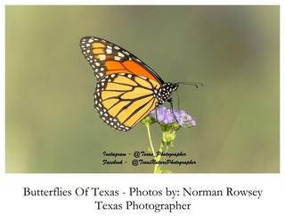 Butterflies of Texas by Norman Rowsey