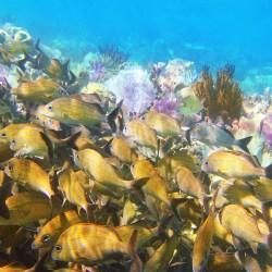 Yellow Grunt fish school
