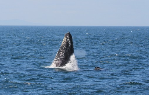Humpback Whale Bar Harbor, ME