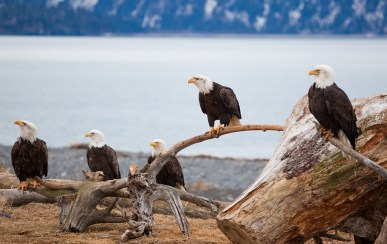 American Bald Eagles, AK