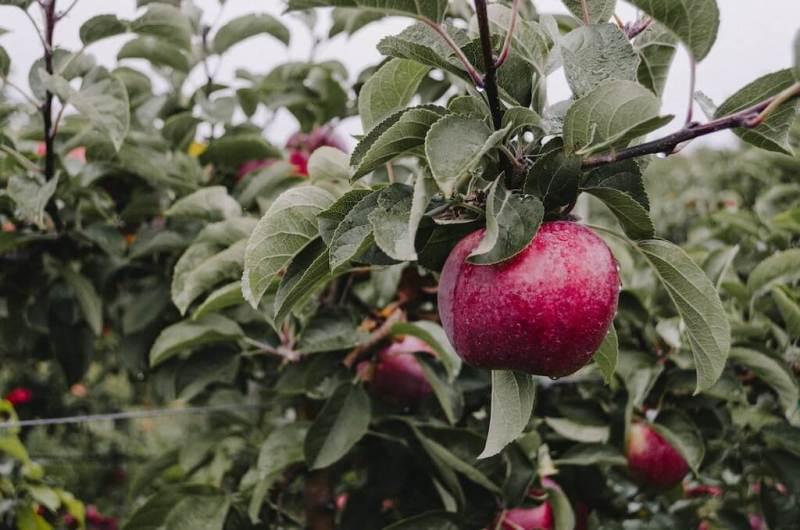 ein roter Apfelbaum