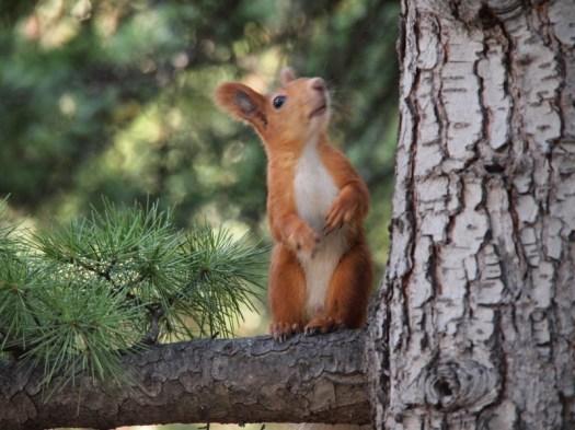 censored squirrel