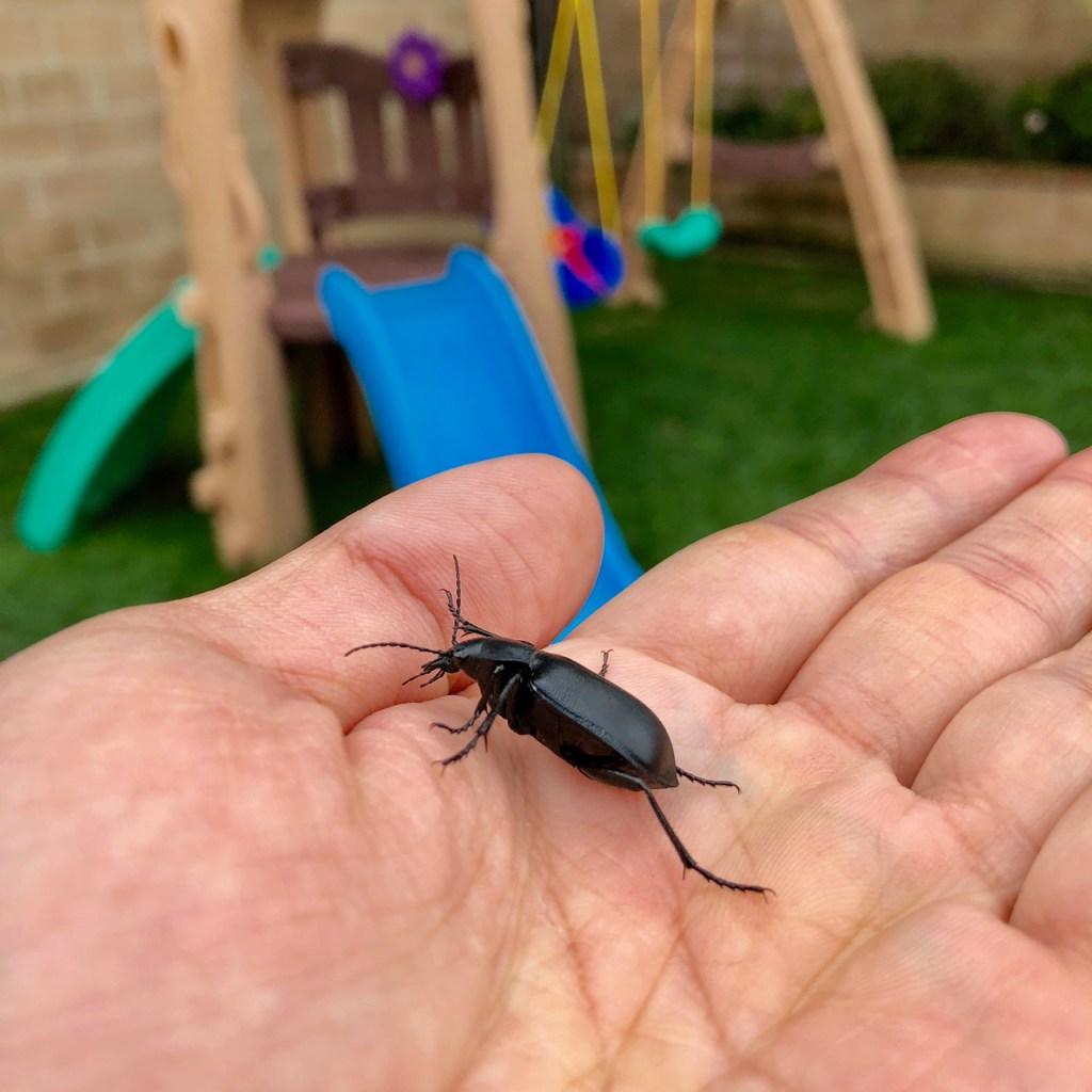 Black lawn beetle.