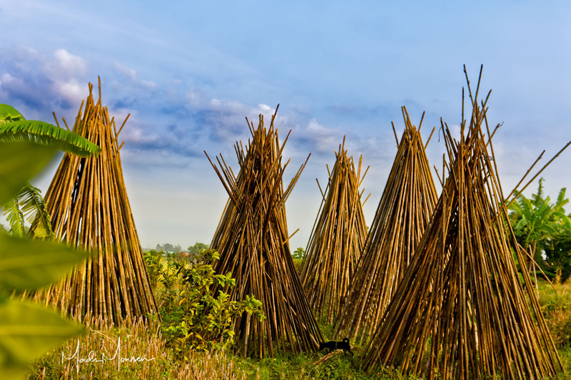 Stacks of bamboo drying on the farm