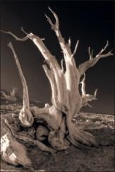 bristlecone-03-bw-web