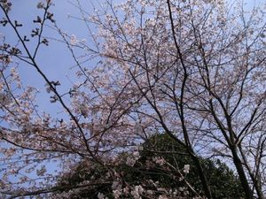 sakura_chichibu.jpg