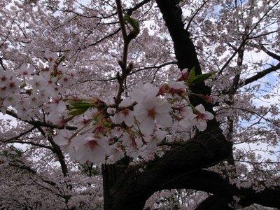 sakura_20110409_2.jpg