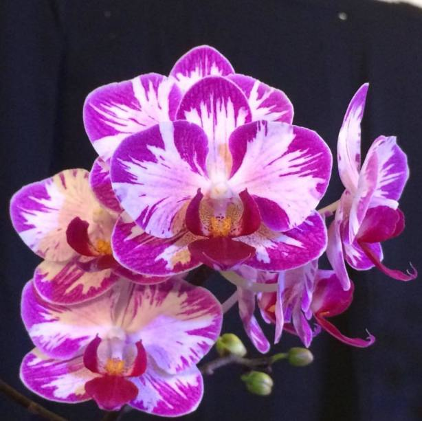 Montego Bay Orchid Club