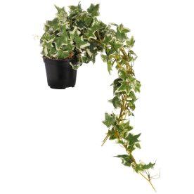 Hills Interiors Trailing Ivy in Pot Hill Interiors Trailing Ivy in Pot Trailing Ivy in Pot by Hill Interiors