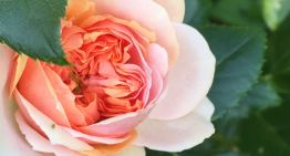 Expert Rose Care With Jenny Williams