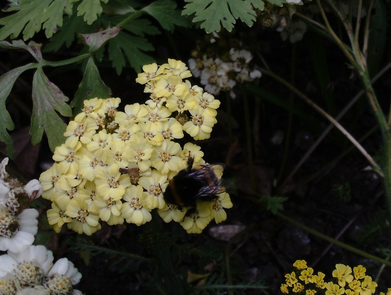 british wildlife garden the handy mano manomano green fingered blog bees insect flowers achillea