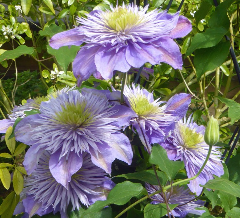 clematis success how to grow the handy mano manomano the sunday gardener C. Crystal fountain