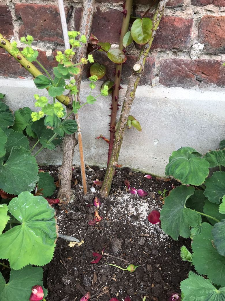 summer rose care how to care for roses the handy mano manomano the laundry rocks jenny williams rose feed granules