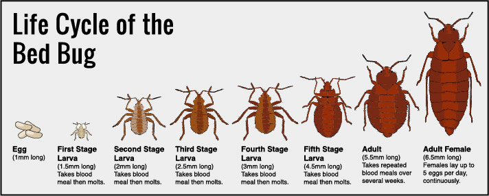 how to get rid of bed bugs exterminate infestation do it yourself diy the handymano handy mano mano pest control cycle of a bedbug