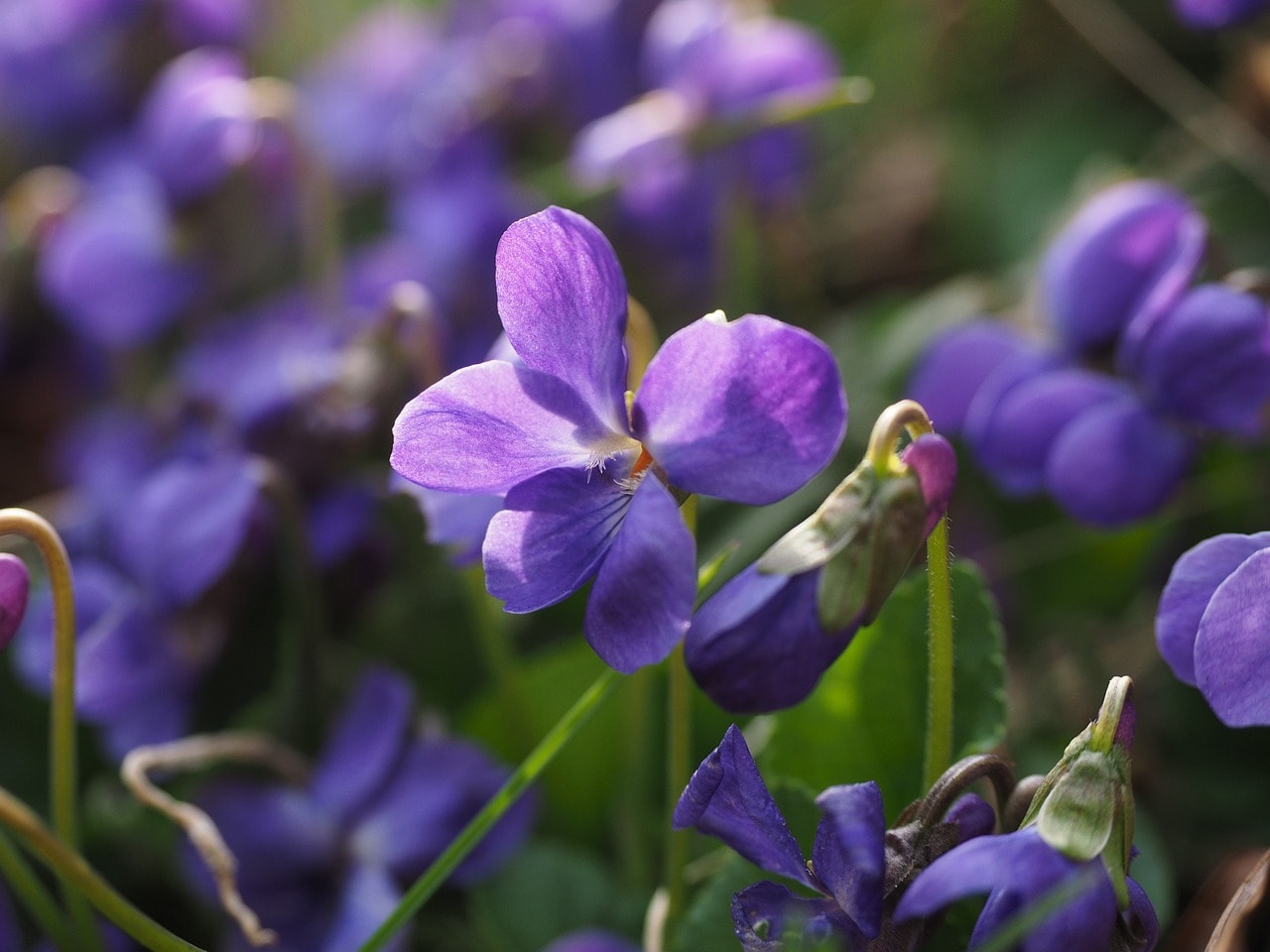 thehandymano mano mano edible flowers sweet violet